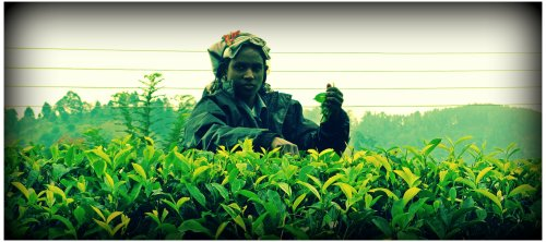 Woman harvesting tea